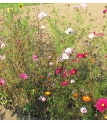 Meerjarig biologisch akkerbloemenmengsel