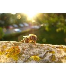Ansichtkaart honingbij op boomstam