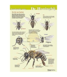 Anatomie van de honingbij uitwendig, poster