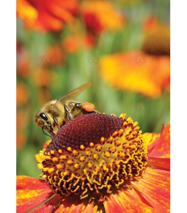 Ansichtkaart van honingbij op zonnekruid (let op, orgineel heeft geen watermerk en is van hoge kwaliteit)